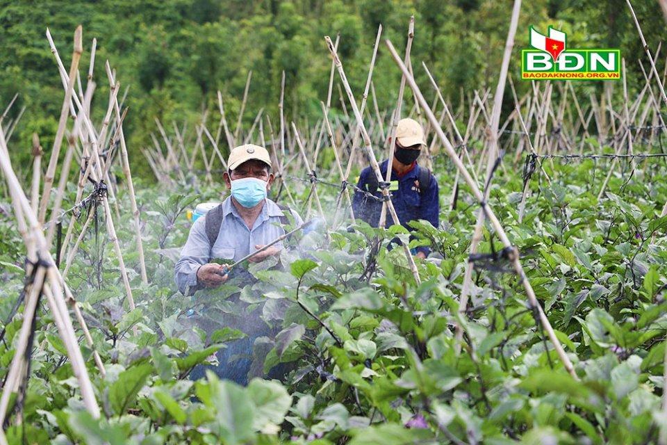 Hiệu quả từ mô hình liên kết trồng cà tím Nhật Bản